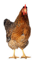 Big hen isolated on white