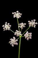 Heracleum sphondylium Wiesen-Baerenklau on black
