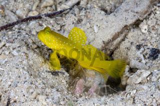 Gelbe Waechtergrundeln in Symbiose mit Knallkrebs