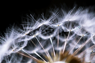fragment of dandelion