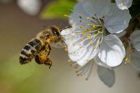 Biene bestäubt Obstblüte