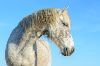 Portrait of Camargue horse in the Camargue.