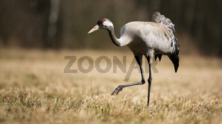Common crane approaching on field in autumn nature