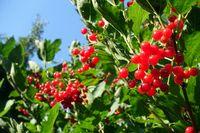 Früchte des Gewöhnlichen Schneeballs, Viburnum opulus