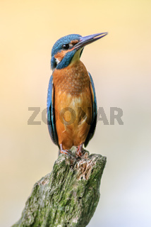 Kingfisher on a branch above the water of a pond.