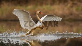 Mute swan landing on splashing water in spring nature