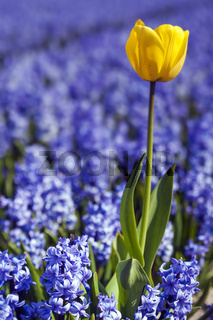 Yellow Tulip in Hyacinths Field