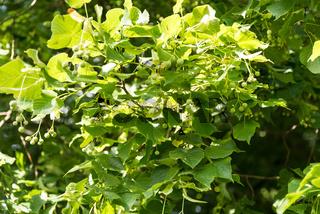 In der Sonne leuchtende Früchte und Blätter eines Lindenbaumes - Detail