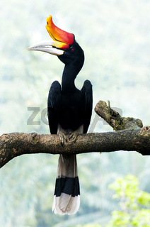 Hornbill bird on branch.