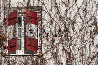 Half open traditional window shutters with red white Austrian flag at wall rambeled with leafless ivy
