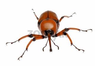 female brown palm weevil snout beetle
