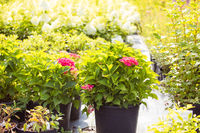 The wonderful hydrangeas in pots for sale