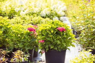 The wonderful hydrangeas in pots for sale
