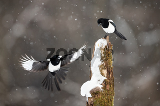 Two eurasian magpies landing on stump during snowstorm