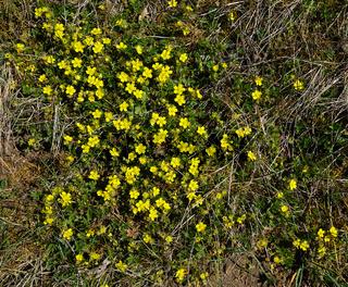 Frühlings-Fingerkraut, Potentilla neumanniana, spring cinquefoil, spotted cinquefoil