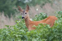 Roe Deer, Capreolus capreolus, Doe in green meadow.