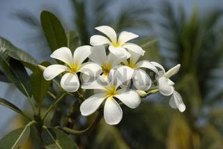 Plumeria alba in Sukhothai
