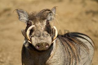 Portrait of a male warthog