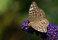 Argynnis paphia f. valesina - brauner Kaisermantel