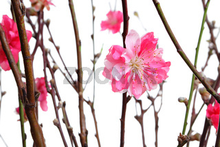 cherry blossoms for chinese new year