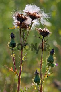 Cirsium vulgare, Spear Thistle, Gewoehnl. Kratzdistel