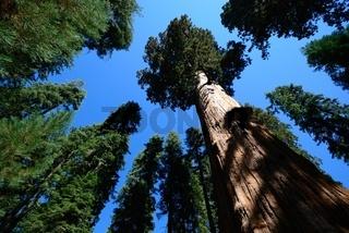 Mammutbaum im Sequoia Nationalpark Kalifornien ragt in den blauen Himmel