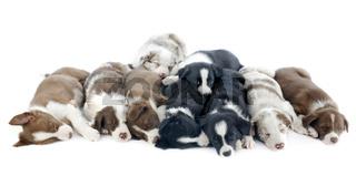 puppies border collies