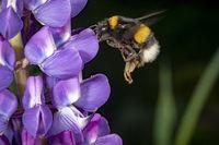 Hummel fliegt auf eine blaue Lupinen Blüte zu