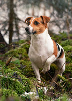 Small Jack Russell terrier dog standing on green moss in forest, some snow at ground, looking curious one leg up