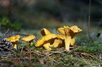 Pfifferlinge (Cantharellus cibarius) im Herbst