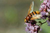 Hornissenschwebfliege am Dost