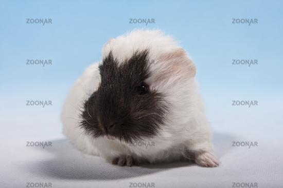 Foto Schweizer Teddy Meerschweinchen Baby Mit Braunem Bild 5086983