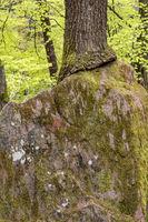 Großer Sandsteinfelsen im Wald der in einem Baum eingewachsen ist mit Textfreiraum
