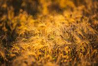 Wheat field closeup shoot an sunny day