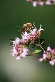 Biene auf Origanoblüte