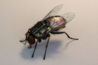 Artistic 3D illustration of a housefly