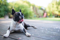 Yawning dog - boston terrier - lying on a wooden terrace