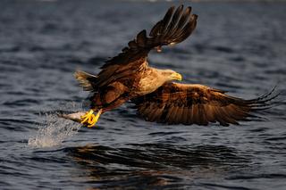 Seeadler mit Beute