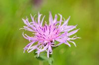 Closeup macro shot of beautiful purple wildflower (knapweed) on green meadow in spring