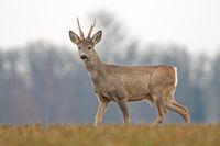 Roe deer buck in spring with new antlers