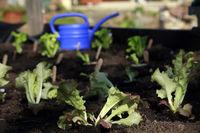 junge Salatpflanzen im Hochbeet