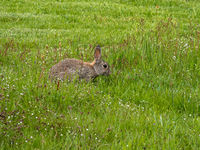 European rabbit, Common rabbit, Oryctolagus cuniculus sitting on a meadow in the village of Nebel in Amrum, Germany