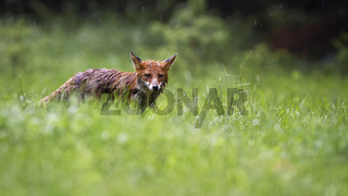 Soaked red fox looking on grassland in rainy summer day