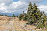 Wanderweg mit Fichten am Brocken im Harz im April nach leichtem Schneefall