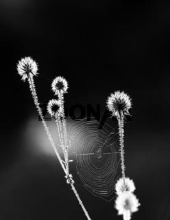Distel mit Spinnennetz