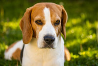 Tricolor beagle lying relaxed on green grass in shade on warm summer afternoon.
