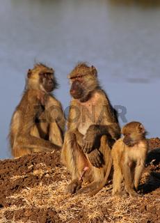 Steppenpaviane im Morgenlicht, Gelbe Paviane, South Luangwa Nationalpark, Sambia, Zambia; papio cynocephalus; savanna baboons
