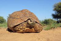 Leopard tortoise (Stigmochelys pardalis) in natural habitat