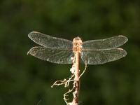 Gefleckte Heidelibelle