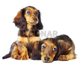 puppys dachshund